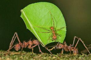 Loài kiến cắt lá biết xây tổ rộng hàng trăm m2 đáng phục