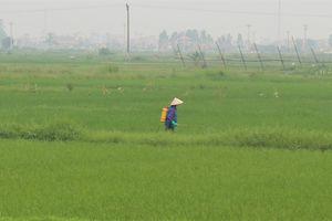 Nam Định: Ngăn chặn bệnh lùn sọc đen hại lúa