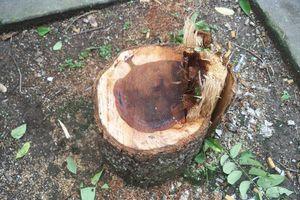 Lộ diện ổ nhóm trộm cây gỗ Sưa quý hiếm tại Hà Nội
