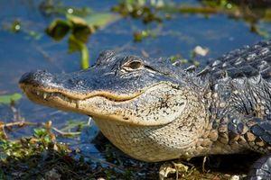 Cá sấu sinh sôi nhanh, tiểu bang Mỹ dỡ lệnh cấm săn bắt