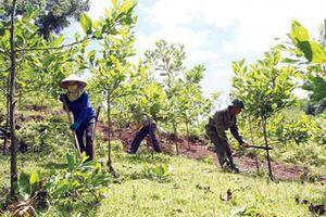 Đắk Nông: Gặp nhiều khó khăn trong việc trồng rừng cân bằng sinh thái