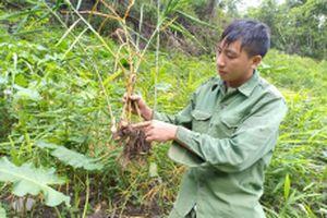 Nông dân lao đao vì cây gừng bị bệnh thối củ