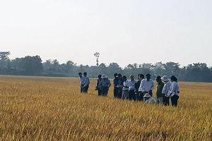 Saigon Co.op bao tiêu lúa gạo sạch