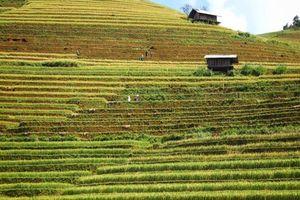 Nhớ thương những ngôi nhà nhỏ trên triền đồi mùa lúa xứ Mù chín vàng óng ả