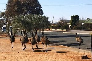 Đàn đà điểu đói khát tấn công thị trấn Australia