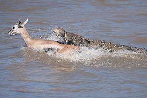 Cá sấu truy sát linh dương Impala dưới nước