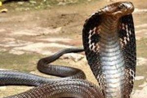 Rắn hổ mang nặng 3kg, dài gần 3m bị tóm gọn ở TP. Hồ Chí Minh