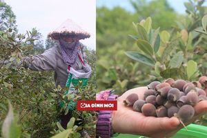 Thu nhập nửa triệu mỗi ngày, người dân Hà Tĩnh đổ xô lên rừng hái sim