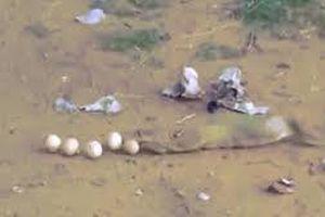 Rắn hổ mang vội vã nôn trả 9 quả trứng để thoát thân khi bị bắt quả tang
