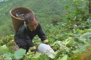 Những mùa bí xanh ở Lưu Thông