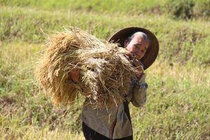 Gạo thơm Mường Nọc