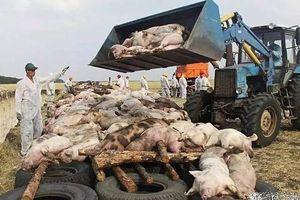 Dịch lợn châu Phi: không vaccine phòng dịch, không thuốc chữa trở thành mối kinh hoàng với với người Trung Quốc