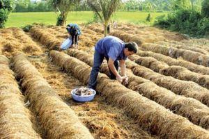 Đồng Tháp: Trúng giá vụ nấm rơm, nhà nông lãi đậm 10 triệu/công