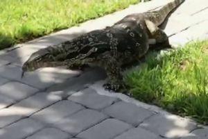 Thằn lằn khổng lồ, to như cá sấu làm náo loạn thị trấn ở Mỹ