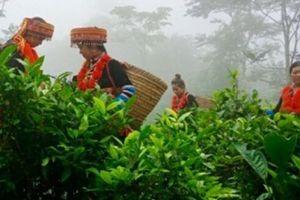 Người Dao làm chè VietGAP trên đỉnh ngàn mây