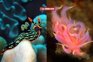 Vẻ đẹp kỳ quái của sên biển nhìn như sinh vật ngoài hành tinh