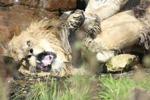 Bị 9 sư tử cái 'đánh hội đồng', sư tử đực đầu đàn chạy không nổi