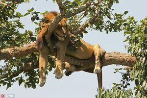Trời thu mát, động vật khoe dáng ngủ lười cực yêu