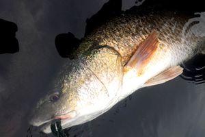 Ngư dân Quảng Bình câu được cá nghi là sủ vàng nặng gần 3 kg