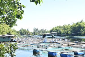 Nhiều hộ dân vẫn liều nuôi cá lồng bè mùa mưa lũ