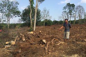 Hiện trường khai thác cây đa siêu 'khủng' tại Đắk Lắk