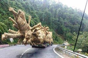 Đắk Lắk: Đã xác định nguồn gốc 1 trong 3 cây khủng như 'quái thú'