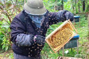 Nông dân Nghệ An nuôi ong chúa lấy sữa, thu lãi 200 triệu đồng/năm
