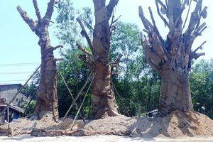 Chờ giấy phép, ba cây đa 'quái thú' được trồng tạm ven đường tại Huế