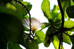 Ngắm hoa bàng vuông Trường Sa nở giữa Sài Gòn