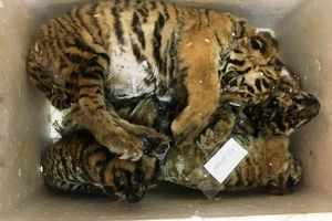 5 con hổ giấu trong thùng xốp trên đường tiêu thụ