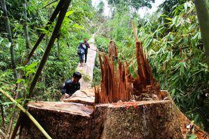 Hai nghi can chủ mưu vụ phá rừng ở Quảng Nam ra đầu thú