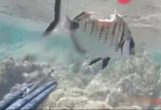 Chấn thương nặng, cá nhỏ nghị lực khiến thợ lặn phục lăn