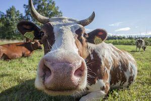 Bò có thể gây ra một đại dịch lớn trên thế giới