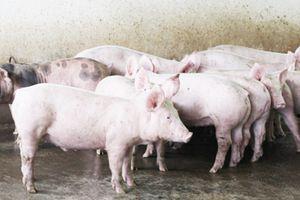 Ngành Hải quan triển khai công tác ngăn chặn bệnh dịch tả lợn Châu Phi vào Việt Nam