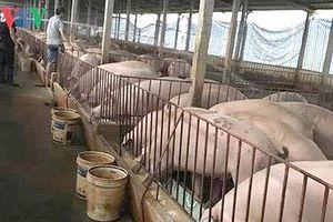 Chủ động ngăn chặn dịch tả lợn Châu Phi xâm nhập qua biên giới