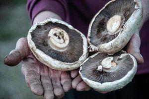 Loài nấm đặc biệt, có khả năng tiêu diệt được rác thải nhựa