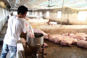 Kiểm soát chặt dịch tả lợn châu Phi