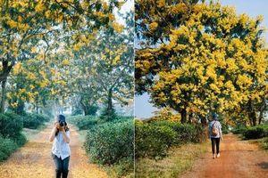 Ngỡ như lạc lối ở 'xứ Hàn' khi mùa hoa muồng nở vàng trời Gia Lai