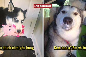 Hài hước 23 lý do vì sao bạn nên nuôi ngay một em Husky