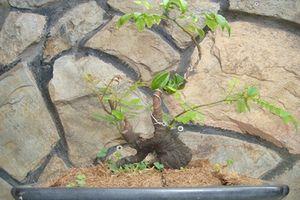 Mê tít những chậu khế bonsai mini siêu đẹp