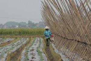 Huyện Yên Định phấn đấu gieo trồng 5.000 ha cây vụ đông