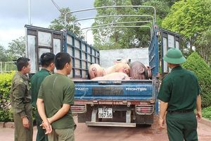 Bất chấp dịch tả lợn Châu Phi hoành hành ở Trung Quốc: Vẫn ngang nhiên 'cõng' lợn vào nội địa