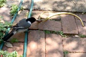 Khó tin cảnh chim cắn nuốt rắn ngay trong sân nhà
