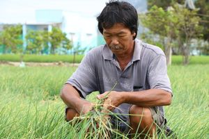 Giá hành giảm người dân Ninh Thuận 'khốn đốn'