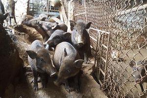 Nuôi loài lợn leo núi, thịt chắc giòn, đẻ sòn sòn, mãi không đủ bán