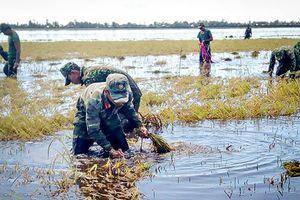Sư đoàn 4, Quân khu 9 giúp dân thu hoạch lúa chạy lũ