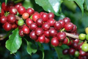 Ngày 20/9: Giá cà phê, hồ tiêu cùng chìm sâu