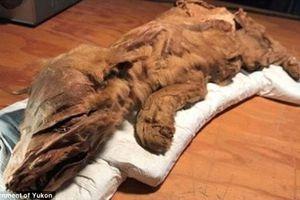Tìm thấy hai xác ướp động vật tiền sử hơn 50.000 năm tuổi ở Yukon, Canada
