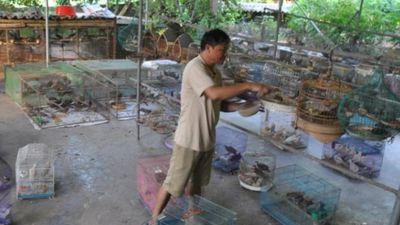 Luyện chim cu gáy cảnh: Từ thảnh thơi nuôi chơi đến thu tiền thật