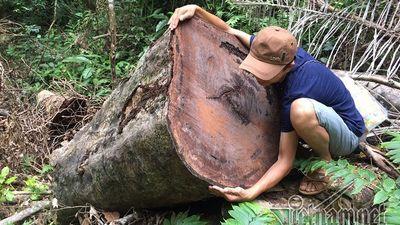 Tan hoang rừng phòng hộ A Lưới: Cây xẻ tại chỗ, gỗ nằm ngổn ngang